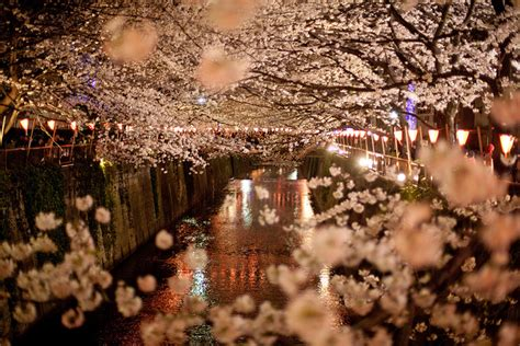 Hanami Tosca by Japanese Are Serious About Cherry Blossom Viewing