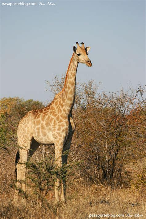 imagenes de jirafas salvajes animales salvajes jirafas y elefantes