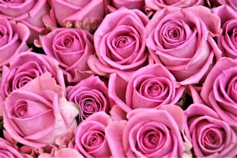 pink roses hd wallpaper wallpaper flare