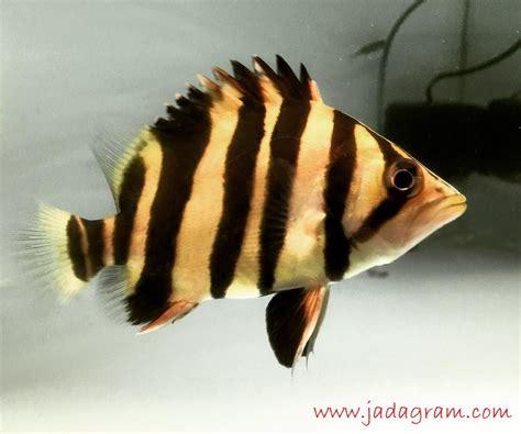 Pakan Ikan Hias Tiger Fish jenis ikan hias air tawar warna belang kuning hitam ikan