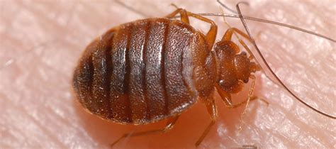 how do bed bugs spread from person to person abc pest mosquito control corpus christi