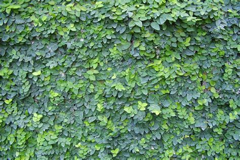 ficus pimula by the gardening blog