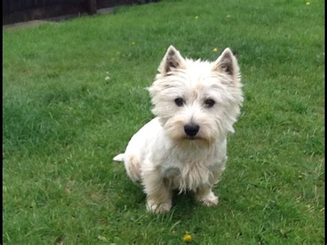 westie breed westie nearly 2 years newton abbot pets4homes