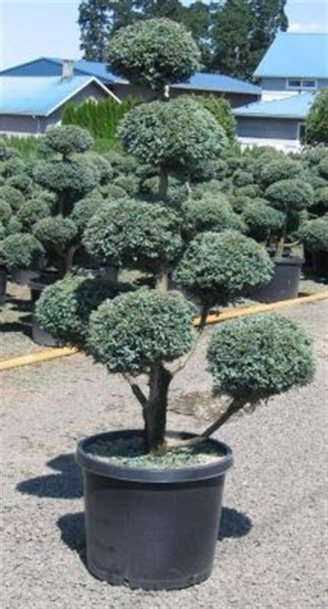 Pom Pom New Series Ii Scarfpashmina pom pom tree i wish mine was as as this the ones in