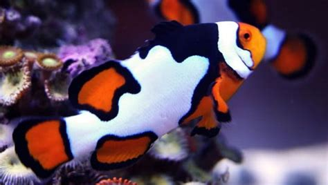 anemone eat clownfish clownfish facts habitat diet prey and many more for