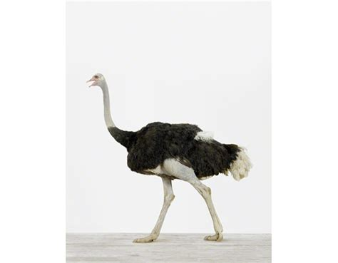 Beautiful Black And White Modern Prints #6: Bird%20Pictures_Ostrich9.jpg