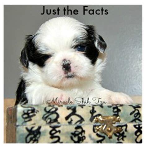 shih tzu interesting facts ten reasons why shih tzu dogs