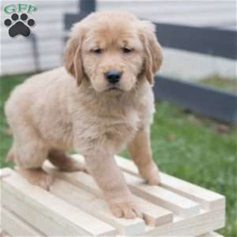 golden retriever puppies east golden retriever puppies for sale