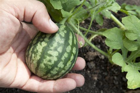 Watermelon Planter by Watermelon Plant Stock Photo Image Of Growth Melon 17145622