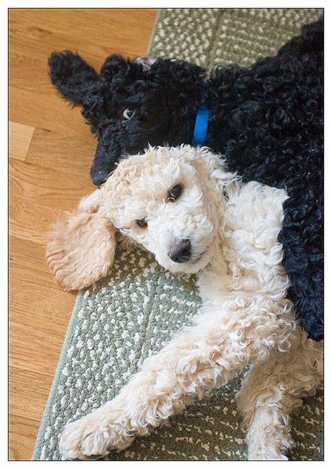 poodle with plain hair cut 188 best ideas about annie on pinterest poodles dog