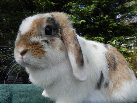 lop eared rabbits lop eared rabbits photo 38480775