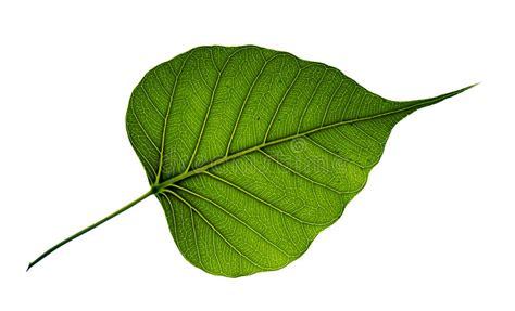 Single Bodhi Tree Leaf Isolated On White Background Stock