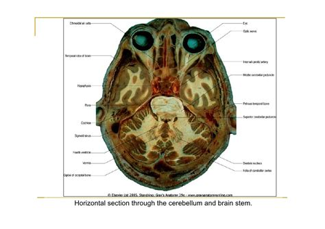 horizontal section of brain pons