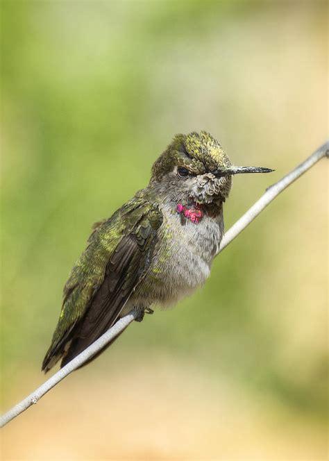 Hummingbird L by Hummingbird Photograph By Saija Lehtonen