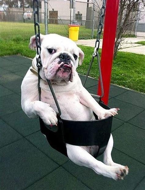 just swing オオカミの血を引く勇敢な犬 コーカシアン シェパード ドッグ の鬼の形相 厳選 癒される犬の画像