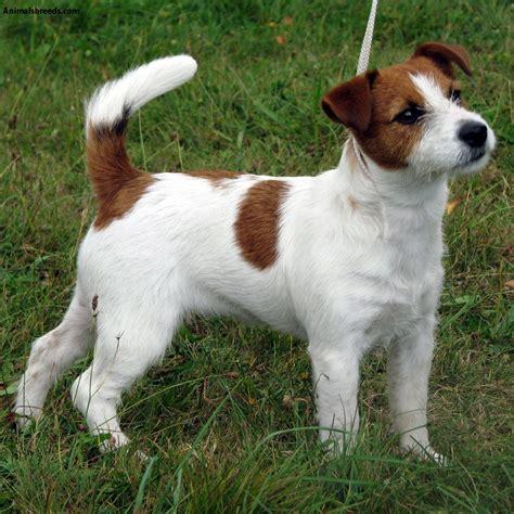 russel terrier puppy terrier pictures information temperament characteristics animals