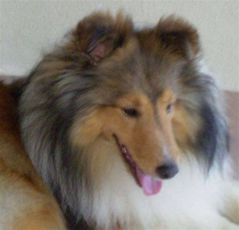 sheepdog puppies for adoption shetland sheepdog coat color pets info hound picture breeds picture