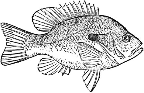 sunfish coloring page sunfish clipart