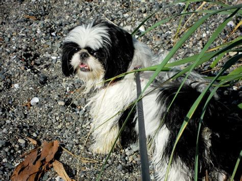 japanese chin x shih tzu phoebe the shih tzu japanese chin puppy