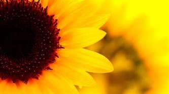 sunflower wallpapers hd pictures one hd wallpaper