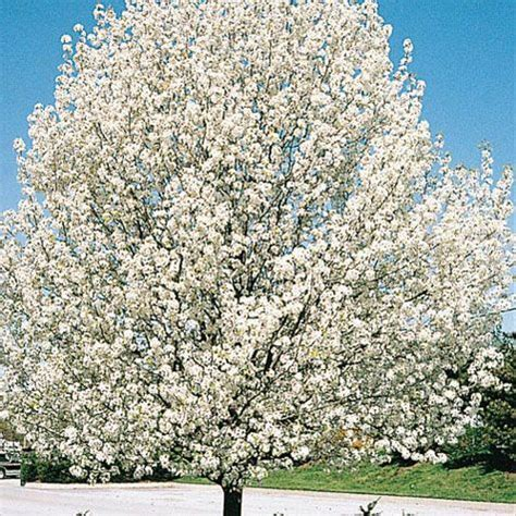 Cleveland Ornamental Pear Tree   Gurneys Seed & Nursery