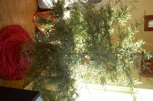 mulch that christmas tree c ville weeklyc ville weekly