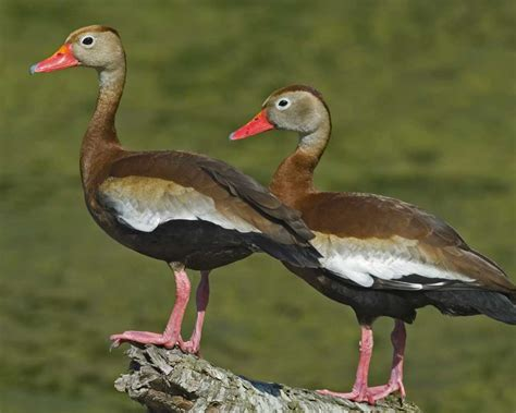 black bellied whistling duck audubon field guide