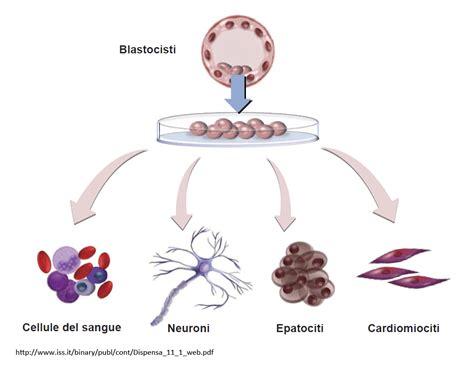 cellule staminali cellule staminali pluripotenti