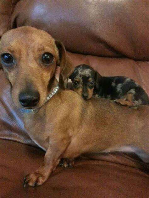 baby dachshund puppies adorable dachshunds animals cuteness