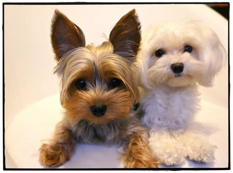 best toys for yorkie puppies best toys for yorkies wow