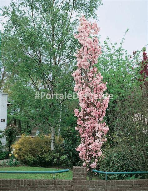 ciliegio da fiore giapponese prunus serrulata amanogawa