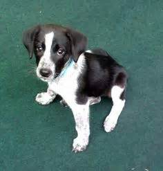 borador puppies for sale borador border collie x labrador puppies for sale breeds picture