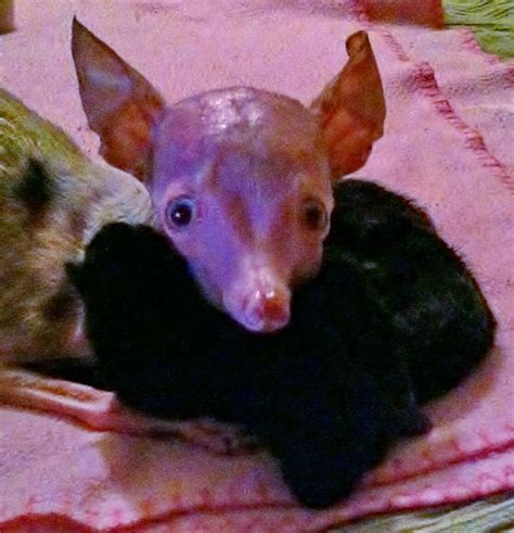 when do chihuahua puppies open their rosie the inbred chihuahua opens to four abandoned kittens