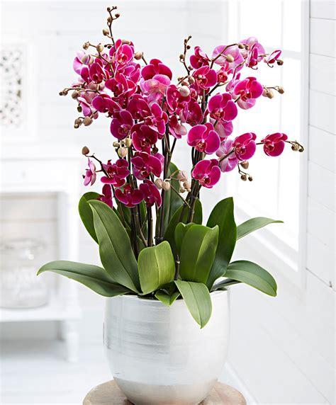 manutenzione orchidee in vaso kaufen sie jetzt zimmerpflanze orchidee phalaenopsis