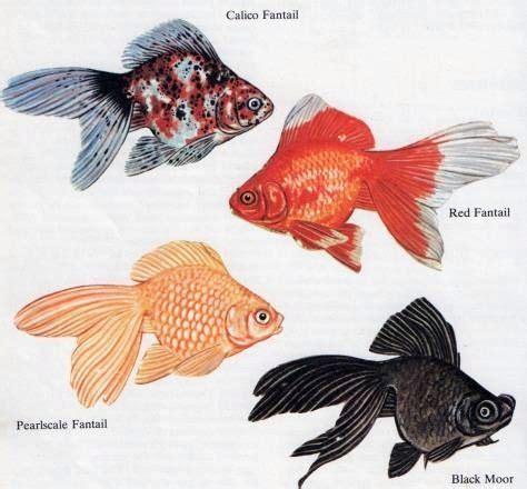goldfish types