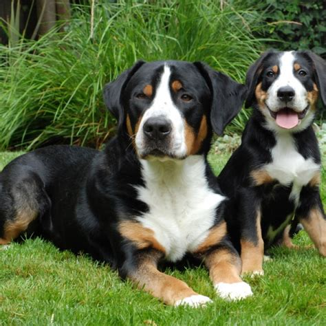 swiss mountain 1000 images about big dogs on sheepdog swiss mountain dogs and