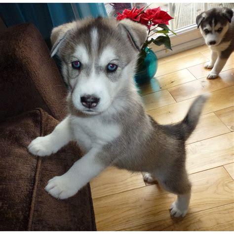 husky puppies for sale seattle siberian husky puppies for sale uk auto design tech