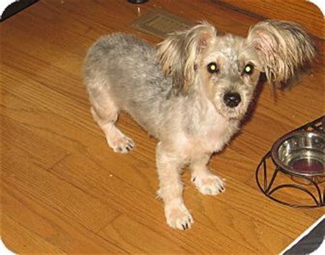 yorkie bichon mix size pet not found