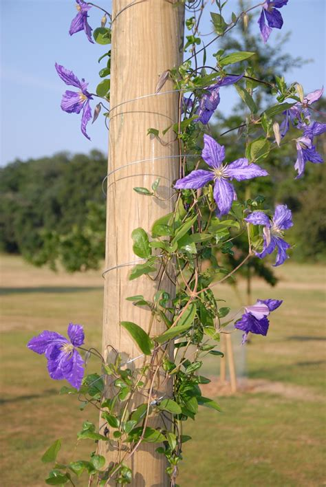 climbing plant pole