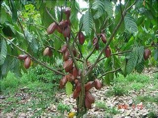 Bibit Pohon Coklat Memperkenalkan Tanaman Kakao Coklat Pada Masyarakat Pojok Plawon Gunturharjo Gunturharjo Go
