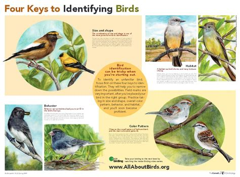 four keys to bird identification all about birds