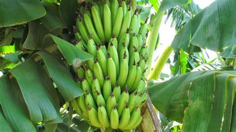 banana tree india foods