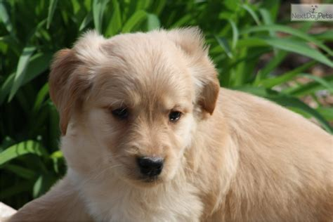 golden retriever rescue louisville golden retriever louisville black hairstyle and haircuts