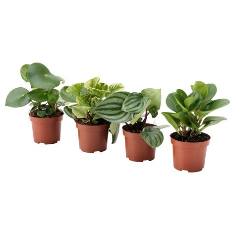 little plants peperomia potted plant assorted 9 cm ikea