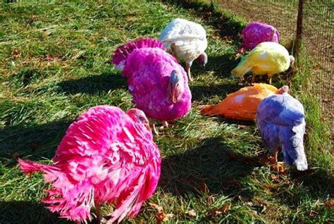 colored turkey multi coloured turkeys