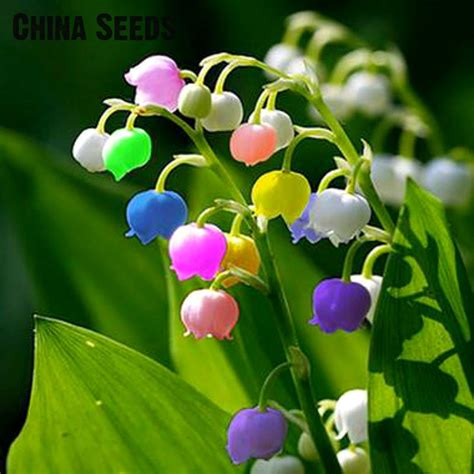 pcs lily   valley flower seeds indoor rare bell
