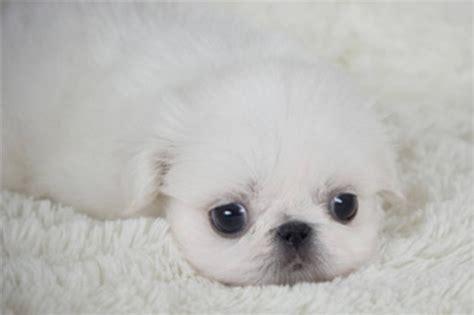 white pekingese puppies white pekingese puppy a whiter shade of pale