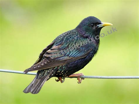 starlings western isles birds birdlife and bird