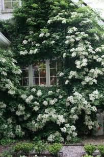 Vining Plants For Trellis Climbing Hydrangeas Garden Design For Living