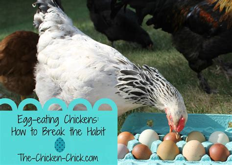 can a eat chicken egg chickens how to the habit the chicken 174